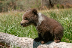 Grizzly bear cub sitting on the log Stock Photos