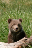 Grizzly bear cub sitting on the log Stock Image