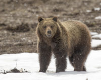 Grizzly bear cub on snow in early spring royalty free stock photo