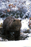 Grizzly bear cub standing in falling snow (Ursus arctos), Alaska Stock Images