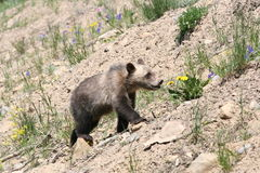 Grizzly Bear cub (Urus actors horribilis) Stock Images