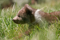 Grizzly bear cub walking in green grass Stock Photos