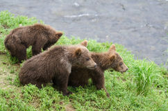 Grizzly bear cubs Royalty Free Stock Image