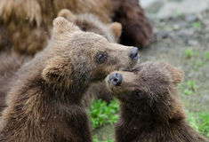 Grizzly bear cubs Stock Image