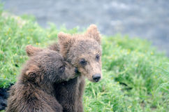 Grizzly bear cubs Stock Photo