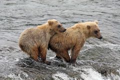 Grizzly Bear Cubs Stock Images