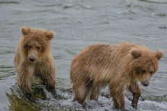 2 of 3 grizzly bear cubs wander around the shore while their mot Stock Photos