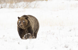 Grizzly bear (#399) in deep snow with paw up slightly) in deep s Stock Photos