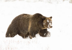 Grizzly bear (#793) in deep snow walking parellel to camera with Royalty Free Stock Image