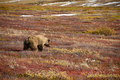 Grizzly bear in denali. In autumn Stock Photography