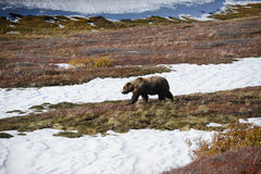 Grizzly bear in denali. In autumn Royalty Free Stock Images