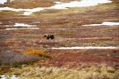 Grizzly bear in denali Royalty Free Stock Photos