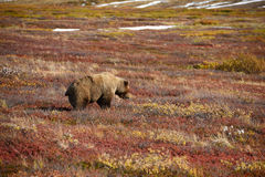 grizzly bear in denali Stock Photography