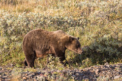 Grizzly Bear in Denali Royalty Free Stock Image