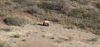 Grizzly Bear at Denali National Park Royalty Free Stock Photo