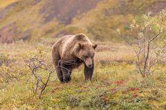 Grizzly Bear in Denali National Park Alaska. A grizzly bear in Denali National park Alaska in early fall royalty free stock images