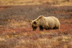 Grizzly bear in Denali National park, Alaska. Grizzly bear in typical landscape of tundra in Denali NP, Alaska, US Royalty Free Stock Photos
