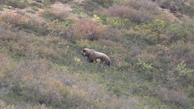 Grizzly Bear in Denali National park stock footage