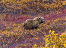 Grizzly bear in Denali National Park. This grizzly bear in Denali National Park was feeding in a red-leaved patch of blueberries Stock Photography