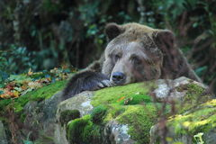Grizzly bear. The detail of grizzly bear relaxing on the rock stock image