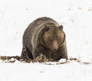 Grizzly bear digging for seeds and tubers with snow on ground Stock Photography
