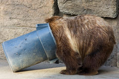 Grizzly Bear Digging in a Trash Can. In the Zoo. NOTE: RAW file available for download stock photography