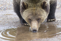 Grizzly bear drinking from mud puddle Royalty Free Stock Image