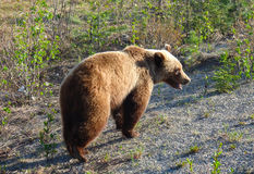 A grizzly bear in the early springtime in northern canada Stock Image