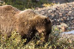Grizzly Bear Eating Berries in Alaska Royalty Free Stock Photo