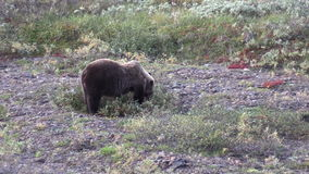Grizzly Bear Eating Berries in Fall stock video