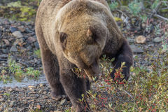 Grizzly Bear Eating Berries in Fall Stock Images