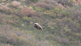 Grizzly Bear Eating Berries stock video
