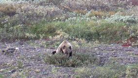 Grizzly Bear Eating Berries stock video footage