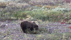 Grizzly Bear Eating stock video