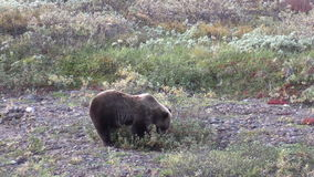 Grizzly Bear Eating Snowberries stock video
