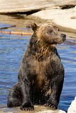 Grizzly Bear Emerging from Water Stock Image