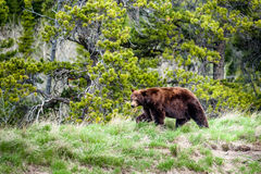 Grizzly bear encounter 2 Stock Image