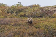 Grizzly Bear in Fall Stock Image