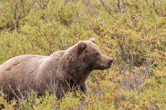 Alert Grizzly Bear in Fall Royalty Free Stock Images
