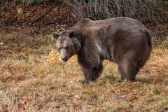 Grizzly Bear in the Fall. Grizzly bear enjoying the afternoon sun on a fall afternoon stock photos