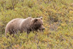 Grizzly Bear in Fall Stock Images