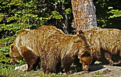 Grizzly Bear Family Stock Photos