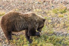 Grizzly Bear Feeding Royalty Free Stock Image
