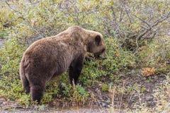 Grizzly Bear Feeding Royalty Free Stock Photos