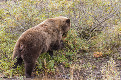 Grizzly Bear Feeding on Berries Stock Photography