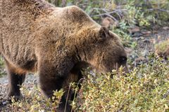 Grizzly Bear Eating Berries Royalty Free Stock Photo
