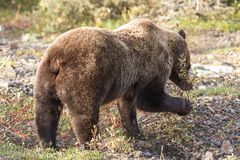Grizzly Bear Eating Berries Royalty Free Stock Photography