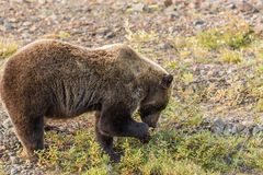 Grizzly Bear Feeding in Alaska Royalty Free Stock Photography