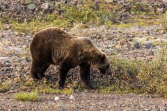 Grizzly Bear Feeding on Berries Royalty Free Stock Photos