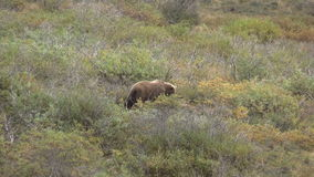 Grizzly Bear stock footage